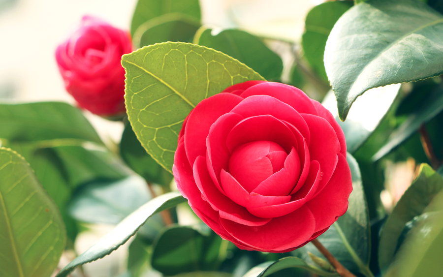 City Flower - Camellia Flower